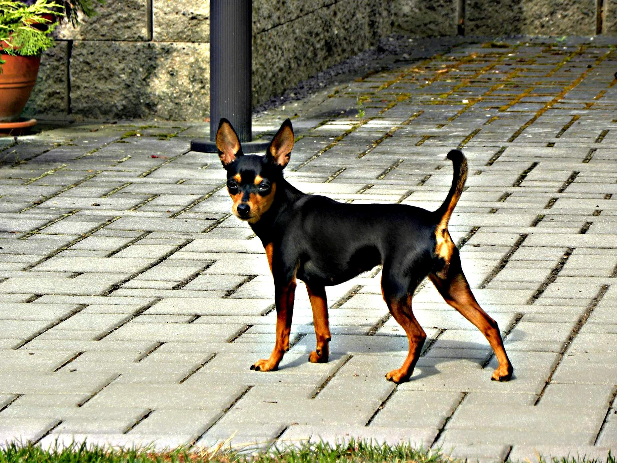 Feny - Pražský krysařík ROYAL VERA 28